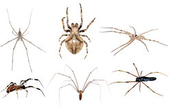 Poisonous spider set Royalty Free Stock Photography
