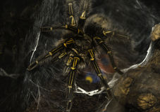 Poisonous tarantula spider perched in a web in the woods Royalty Free Stock Images