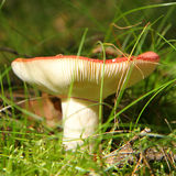 Poisonous toadstool. Growing in a forest stock images