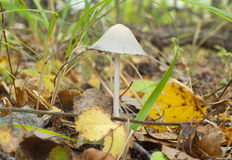 Poisonous toadstool Stock Image
