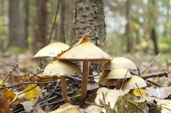 Poisonous toadstool in autumn Stock Photo