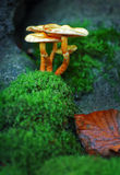 Poisonous toadstool. Group of poisonous fungus in moss stock photos