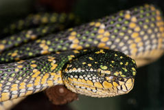 Poisonous tree snake Royalty Free Stock Images