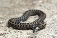 Poisonous viper snake stock image