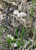Poisonous viper snake in marsh Royalty Free Stock Images