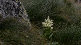 Poisonous white flower on the mountain. veratrum plant moved by the wind