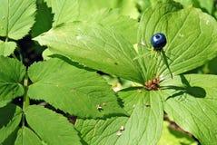 Poisonous wild berries crow's eye Stock Images