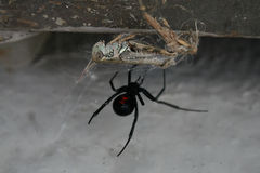 Poisonus spider royalty free stock photography