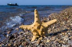 Poisson-étoile sur la plage de corail près d'Eilat, Israël Images libres de droits