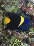 Poisson ένας croissant - Ερυθρά Θάλασσα angelfish Στοκ φωτογραφία με δικαίωμα ελεύθερης χρήσης