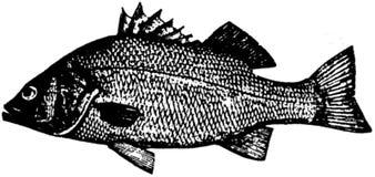 poisson-002 copie Stock Photo