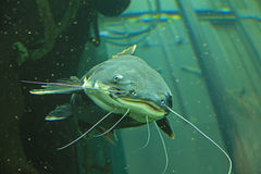 Poisson-chat photographie stock
