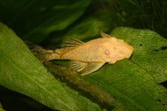 Poisson-chat (Ancistrus Spec.) Photographie stock libre de droits