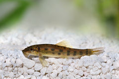 Poisson-chat chinois de mangeur d'algues Photo stock