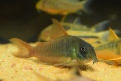 Poisson-chat de Corydoras Images stock