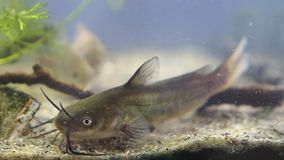 Poisson-chat de la Manche, punctatus d'Ictalurus, prédateur d'eau douce envahissant dangereux dans l'aquarium européen de poisson banque de vidéos