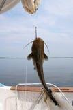 Poisson-chat sur un crochet Image stock