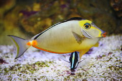 Poisson-chirurgien tropical exotique Images stock