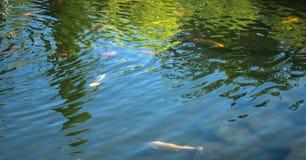 Poisson d'eau douce dans le bel étang Images stock