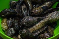 Poisson de mer dans une grande cuvette verte Images stock