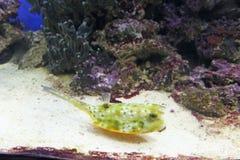 Poisson de mer exotique dans l'aquarium, Russie photo libre de droits