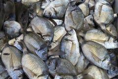 Poisson de mer méditerranéen cru frais en gros plan Photo libre de droits