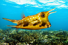 Poisson de mer tropical - cowfish de Longhorn - cornuta de Lactoria Photo libre de droits