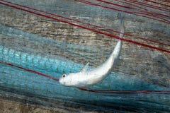 Poisson frais pêché avec le filet de pêche Photographie stock libre de droits