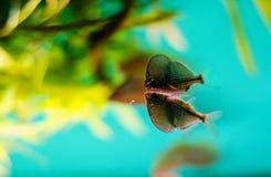 Poisson-hache Photographie stock libre de droits