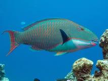 poisson perroquet Photographie stock