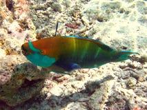 Poisson perroquet bicolore Photo stock