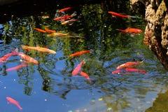 Poisson rouge éclaboussant dans l'étang Photos stock