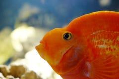 Poisson rouge dans l'aquarium Photographie stock libre de droits