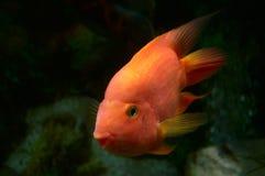 Poisson rouge dans l'aquarium Image libre de droits