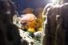 Poisson rouge dans l'aquarium meno de lombok d'île de l'Indonésie de gili près de monde sous-marin de tortue de mer Photographie stock libre de droits