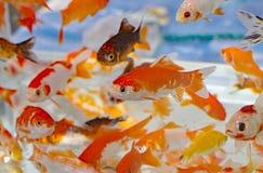 Poisson rouge dans le magasin de bêtes d'aquarium Images stock