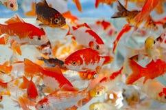 Poisson rouge dans le magasin de bêtes d'aquarium Photographie stock libre de droits
