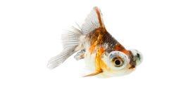 Poisson rouge de Télescope-yeux de calicot Photo stock