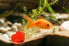 Poisson rouge et coeur rouge Photographie stock libre de droits