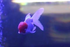 Poisson rouge Oranda dans l'aquarium Photographie stock libre de droits