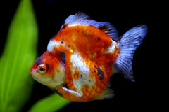 Poisson rouge tricolore de ryukin Photographie stock