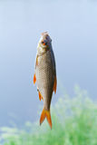 Poissons Image stock