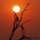 Poissons africains Eagle Silhouettes Image libre de droits