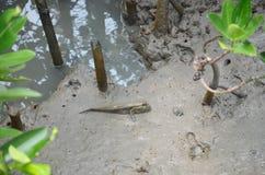 Poissons amphibies ou de Mudskipper dans la forêt de palétuvier Image libre de droits