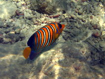 Poissons : Angelfish royal Images stock