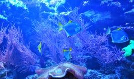 Poissons argentés flottant près des pierres au-dessus de corail images stock