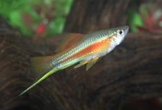 Poissons au néon masculins colorés de Swordtail dans un aquarium Photographie stock libre de droits