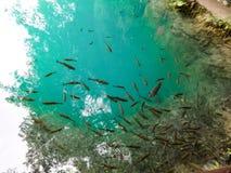 Poissons au pays des merveilles de nature de lacs Plitvice Image libre de droits