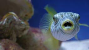 poissons Blanc-repérés de décolleur dans la mer ou l'aquarium clips vidéos