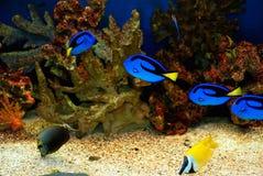 Poissons bleus Image stock